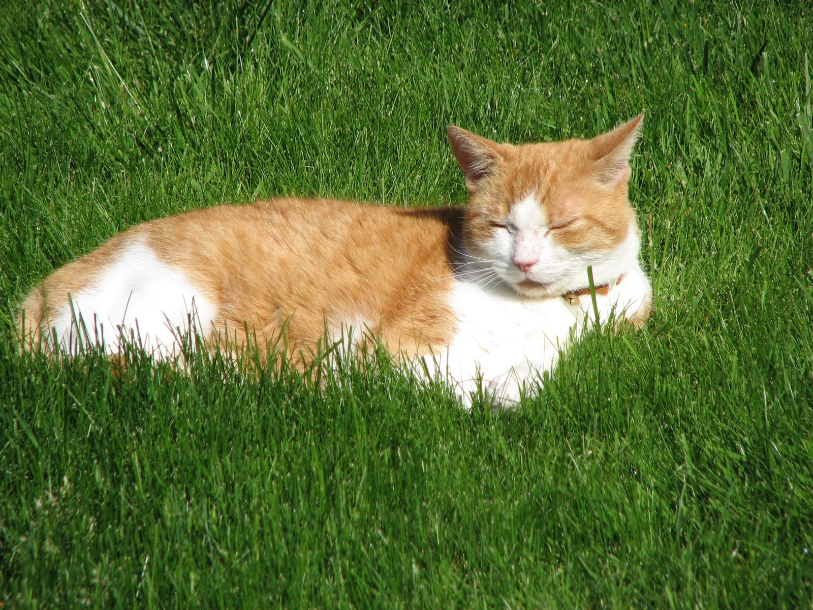 amoxicillin for cats with uti