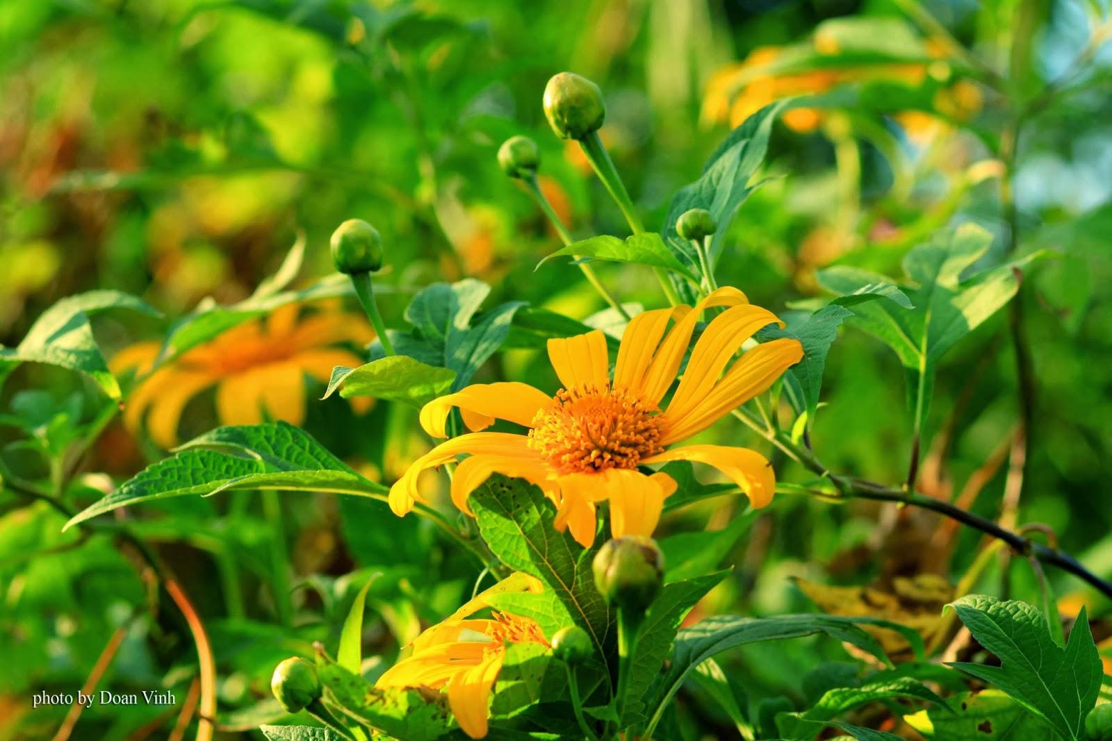 Đẹp ngất ngây mùa hoa dã quỳ phủ vàng phố núi Pleiku