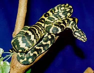 Jungle Carpets Python