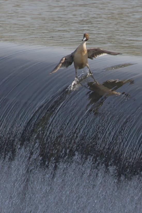 Самая крутая утка в мире!