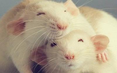 adicta a las ratas calvas