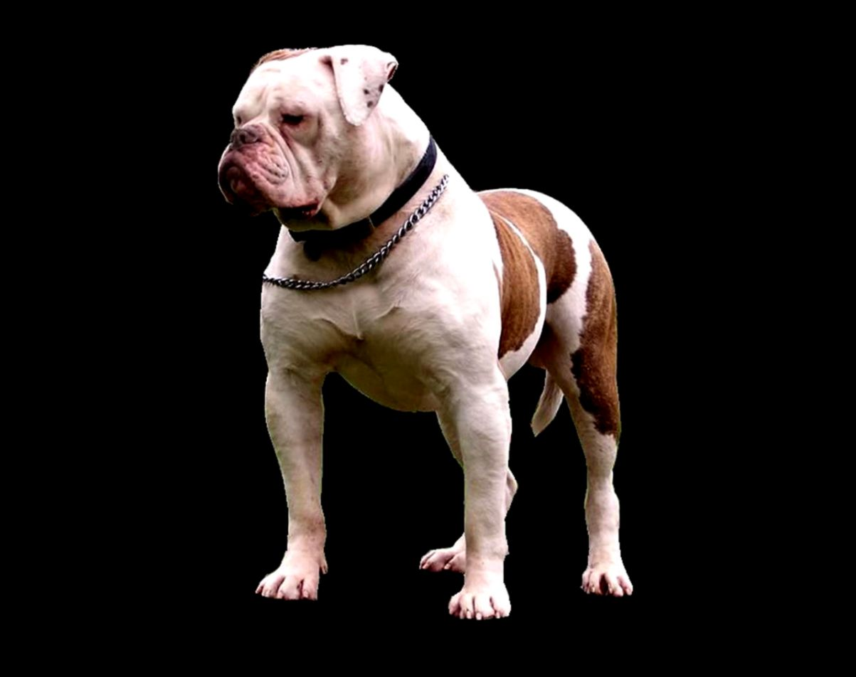 American Bulldog Wallpapers   New WallpapersNew Wallpapers