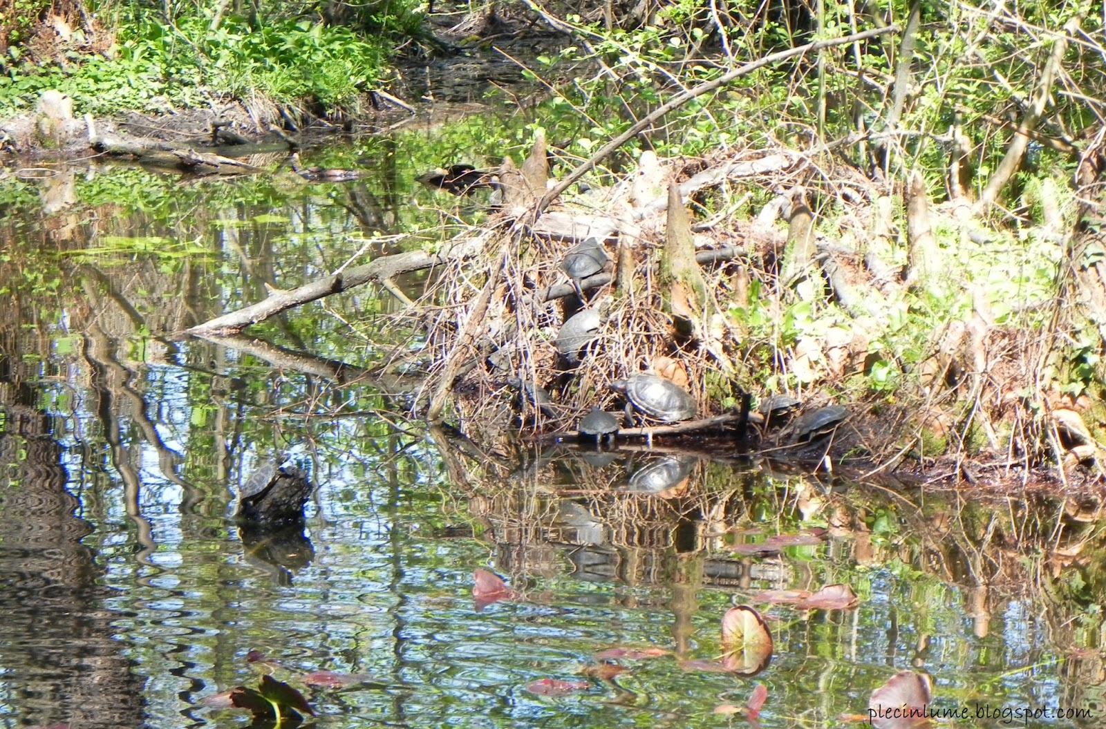 Broaste testoase in Gradina Botanica / Turtles in Botanical Garden