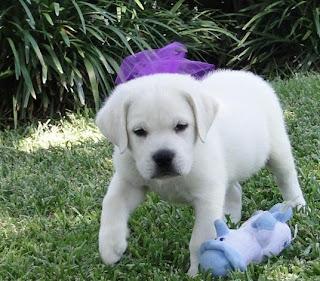 Labrador Retriever Puppy Pictures