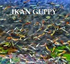 Anim Agro Technology Ikan Guppy Kenali Dia