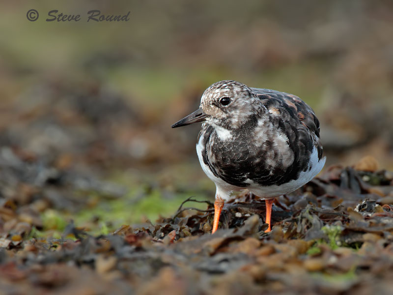 ruddy turnstone, wader
