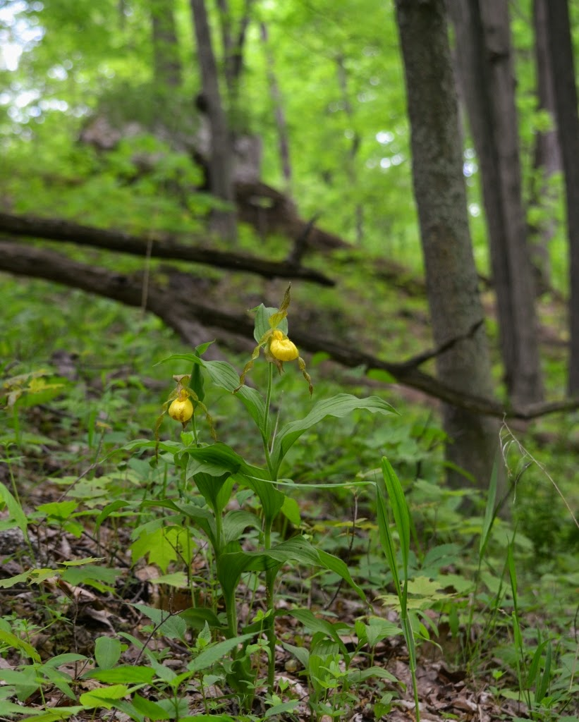 Nature Posts Yellow Ladys Slippers On A Pennsylvania Hillside