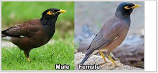 Ciri ciri burung jalak nias jantan dan betina