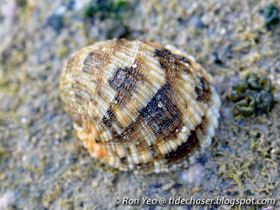 Scaled Nerite (Nerita histrio)