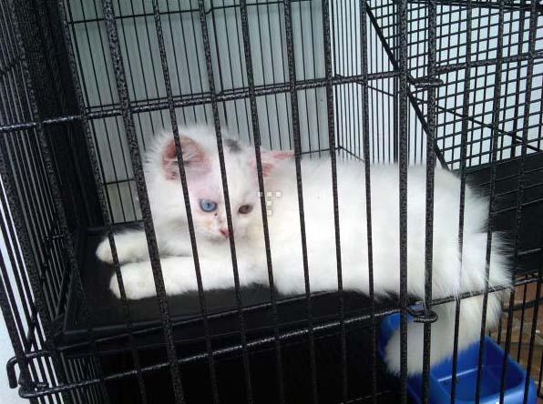 Kucing Dijual Epoy Cat S Breeder