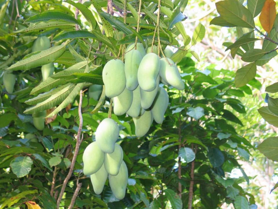 ... -mangga-jenis-pohon-mangga-gambar-bunga-mangga-harga-pohon-mangga-ker