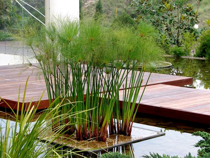 Papiro cyperus papyrus - Plantas para estanques de jardin ...