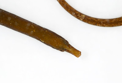 Worm Pipefish Nerophis lumbriciformis head