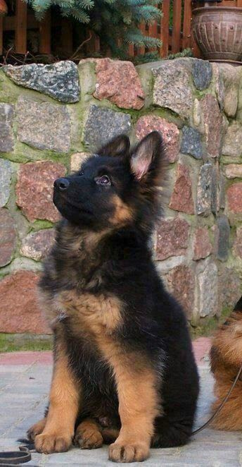 See more German Shepherds http://cutepuppyanddog.blogspot.com/