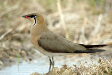 Oriental Pratincole (Photo Library)