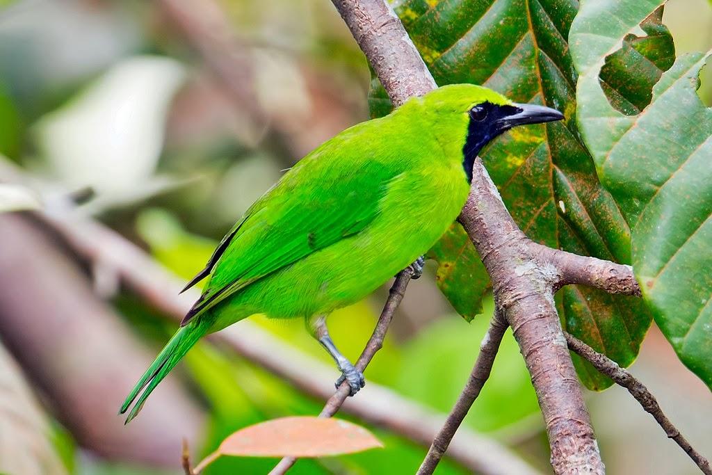 Foto Burung Cucok Rowo Ijo Update Harga Terbaru