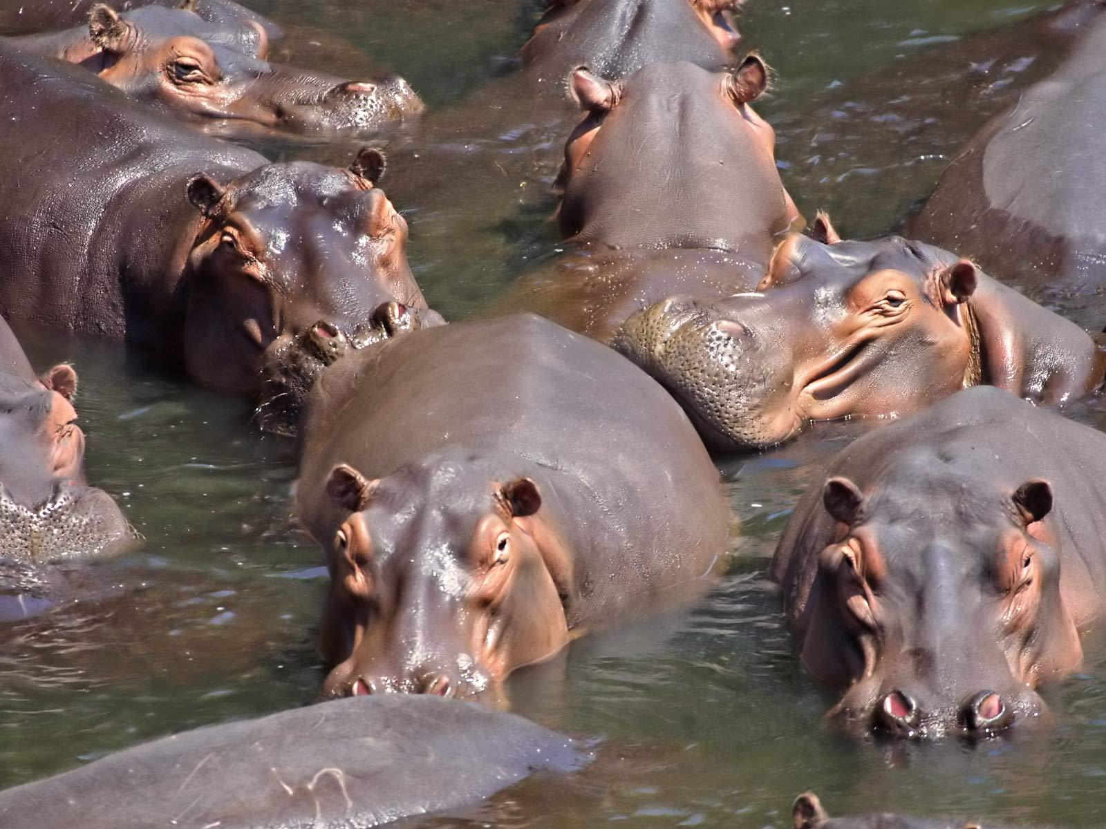 Best   Wallpaper Horse Family - Hippopotamus+wallpapers+8  Collection_913081.jpg