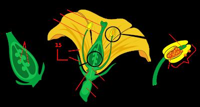 pembentukan sel kelamin tumbuhan