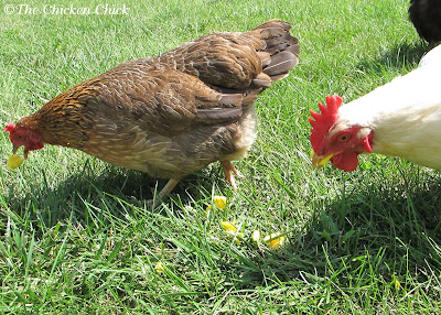 Cooked eggs are an outstanding source of protein for chickens, which is particularly helpful during a molt.