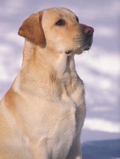 Ideal Temperature for a Labrador Retriever