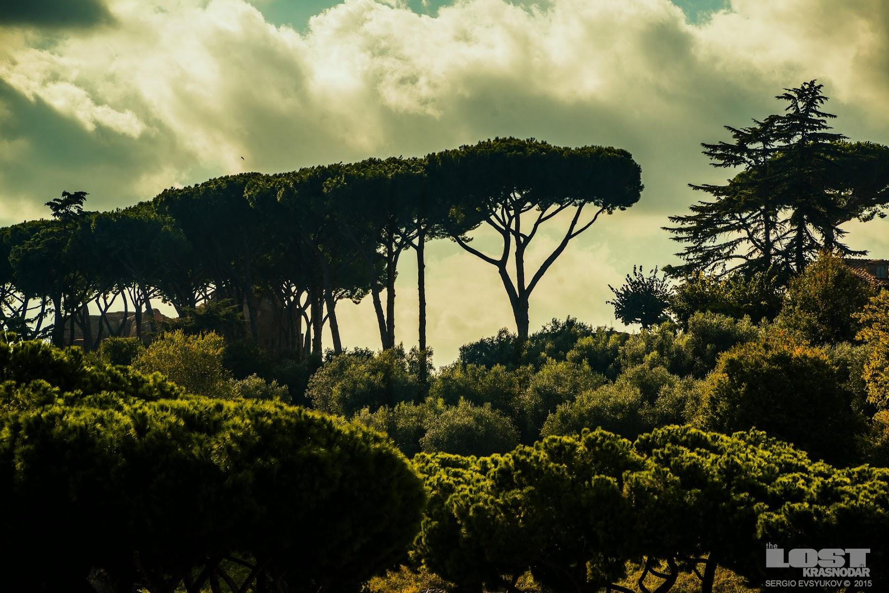 Сосны в Италии