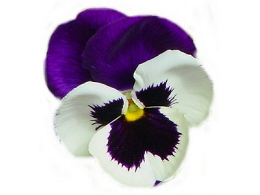 Flower meanings lily - Pansy Flower Meanings Pansies Have Long Been Flowers Of Remembrance Indeed They Have Often Been Placed Upon Memorial Markers And Stones To Honor And