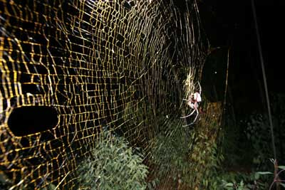 biggest-fossils-amazing-extinct-animals golden orb-weaver spider