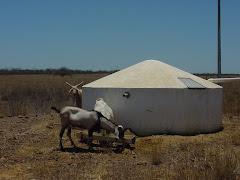 Animais consumindo água de cisterna