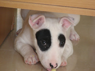 Bull Terrier  Panda Dog สุนัข บูลเทอร์เรีย แพนด้า