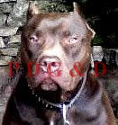APBT MACHO - RED NERON