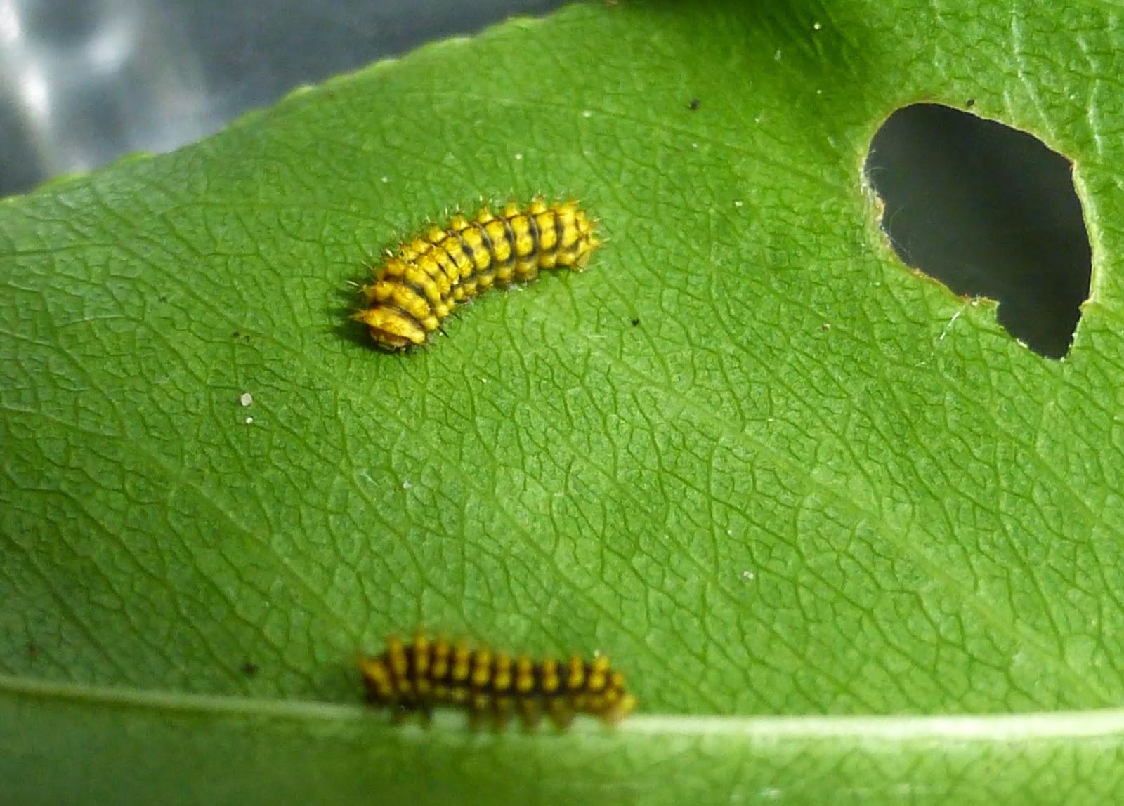 Rothschildia lebeau forbesi L1 caterpillars