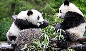 El Zoo de Madrid es el único del mundo con dos crias de osos panda