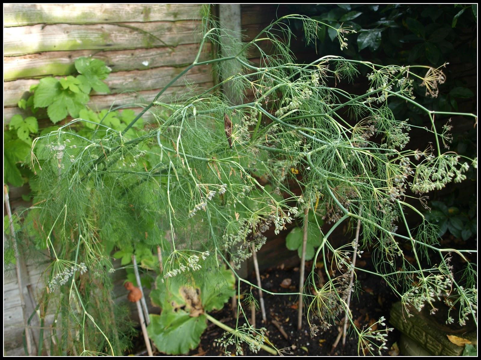 Mark\u0027s Veg Plot: Saving Fennel seeds
