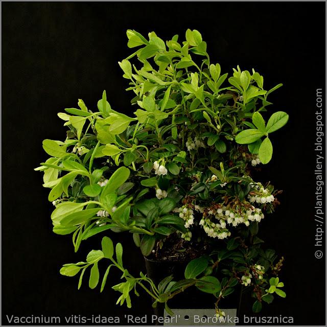 Vaccinium vitis-idaea 'Red Pearl' habit - Borówka brusznica pokrój