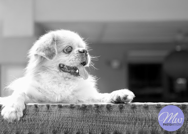 Subang Jaya Pet Dog Photography