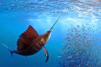 Manzanillo Colima, capital mundial del pez vela