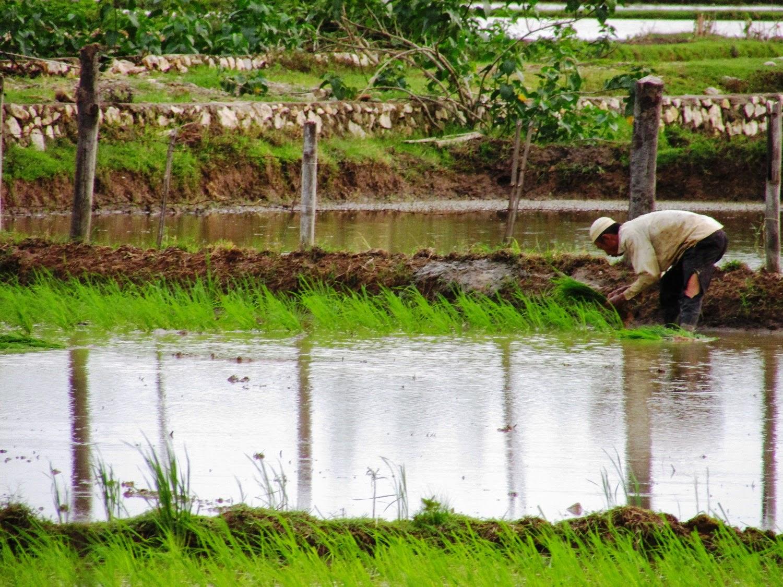 para petani menanam bibit padi