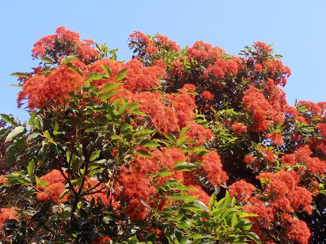 EUCALIPTO DE FLOR ROJA: Corymbia ficifolia