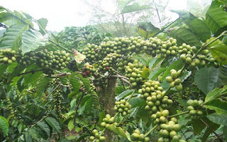 Perbanyakan tanaman kopi dengan biji