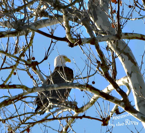 American Eagle along the Mississippi river in Iowa