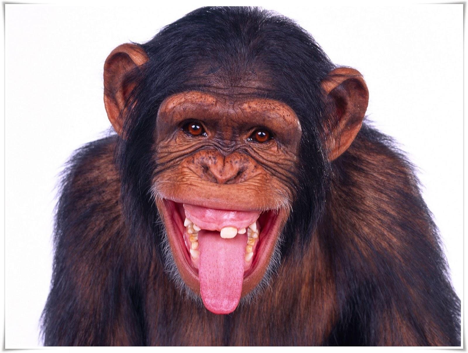 wallpaper binatang monyet lucu