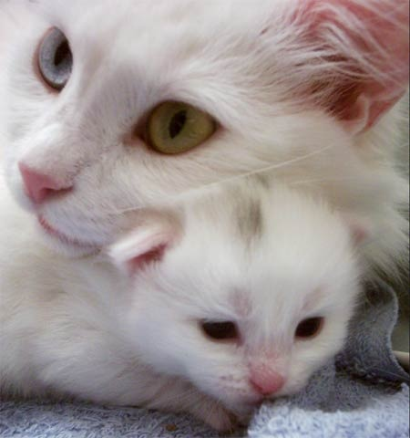 Litter Size of Turkish Angora Cats