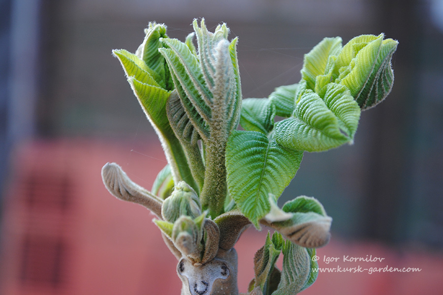 Орех маньчжурский (Juglans manshurica)