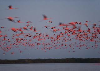 Sekumpulan Burung Flamingo Terbang