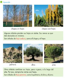 el blog de segundo rboles de hoja caduca y de hoja perenne