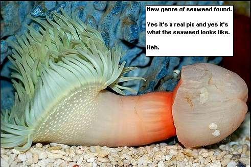 rumpai laut menyerupai zakar lelaki