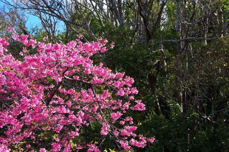 Sakura, flowers, cherry blossoms