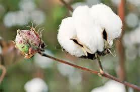 Feria San luis Río Colorado 2014 Feria del algodón