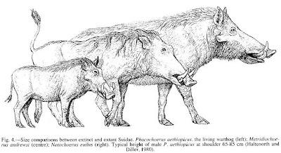 los facoqueros extintos y actuales Metridiochoerus, Notochoerus