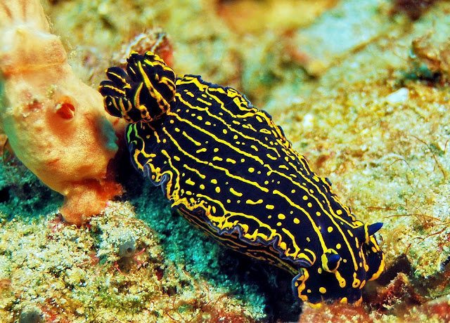 due to the nature of their moves sea slugs are
